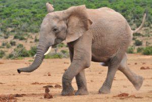 Elefant rennt um sein Leben