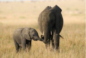 Die Jagd auf Elefantenkühe